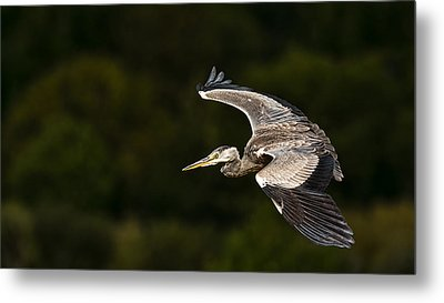 Heron Coming In To Land Metal Print