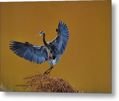 Heron With Wings Out - 9235 Metal Print by Paul Lyndon Phillips