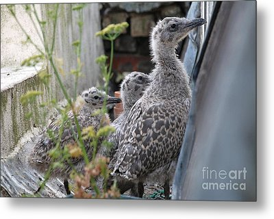 Herring Gull Chicks Metal Print