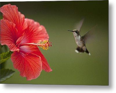 Hibiscus Hummingbird Metal Print by John Crothers