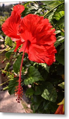 Hibiscus In Red. Metal Print by Siti  Syuhada