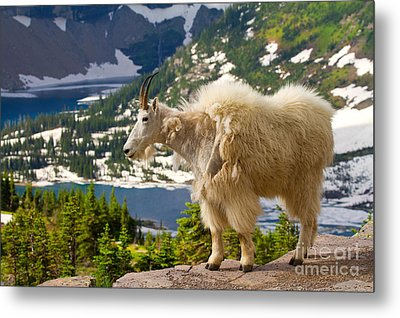 Metal Print featuring the photograph Hidden Lake Goat by Aaron Whittemore