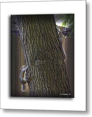 Hide And Seek Squirrels Metal Print by Brian Wallace