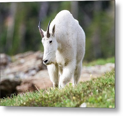 Metal Print featuring the photograph High Country Mountain Goat by Jack Bell