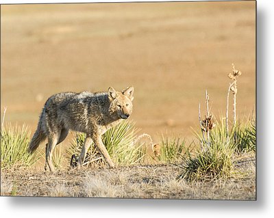 High Plains Coyote At Sunset Metal Print by Adam Pender
