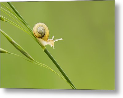 High Speed Snail Metal Print by Mircea Costina Photography