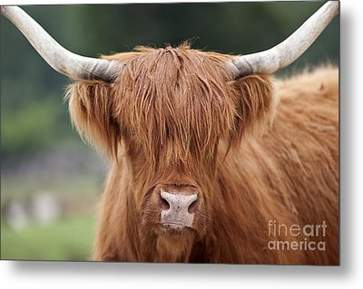 Highland Cattle Metal Print by Brandon Alms