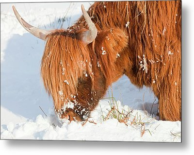 Highland Cattle Grazing Metal Print by Ashley Cooper