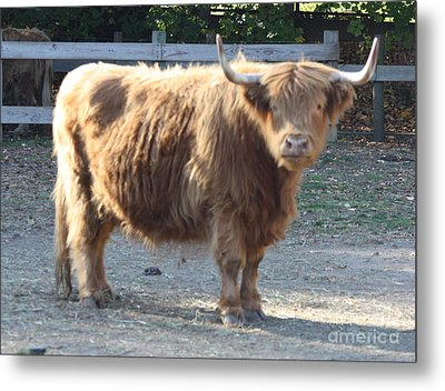 Highland Cattle Metal Print by John Telfer