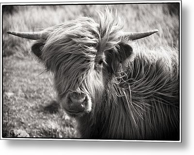 Highland Cow In The Outer Hebrides Of Scotland Metal Print by Adele Buttolph