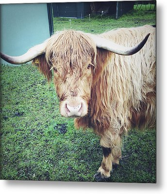 Highland Cow Metal Print by Les Cunliffe