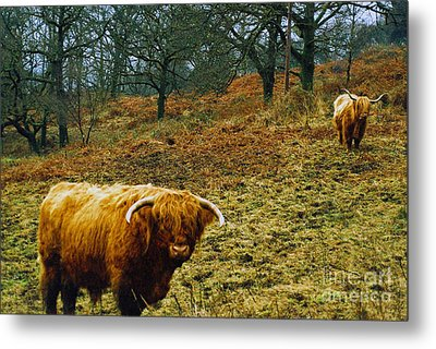 Metal Print featuring the photograph Highland Cows Landscape by Cassandra Buckley