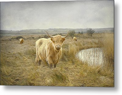 Metal Print featuring the photograph Highland Moo's by Roy  McPeak