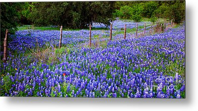 Hill Country Heaven - Texas Bluebonnets Wildflowers Landscape Fence Flowers Metal Print by Jon Holiday
