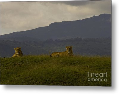 Metal Print featuring the photograph Hillside Lions by J L Woody Wooden
