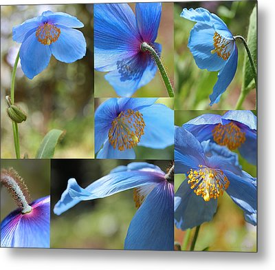 Himalayan Blue Poppy Collage Metal Print by Jennie Marie Schell