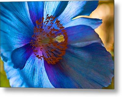 Himalayan Blue Poppy IIi Metal Print by Sabine Edrissi