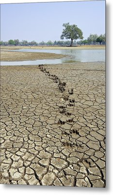 Hippo Footprints Metal Print by Science Photo Library