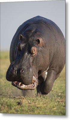 Hippopotamus Bull Charging Botswana Metal Print