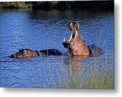 Metal Print featuring the photograph Hippos by Dennis Cox WorldViews
