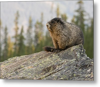 Metal Print featuring the photograph Hoary Marmot by Chris Scroggins