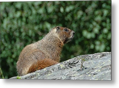 Metal Print featuring the photograph Hoary Marmot by Paul Miller