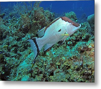 Hogfish On Reef Metal Print by Carey Chen