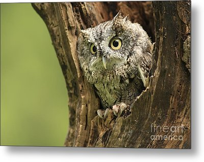 Hollow Screech- Eastern Screech Owl Metal Print by Inspired Nature Photography Fine Art Photography