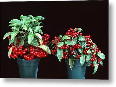 Holly Metal Print by Unknown