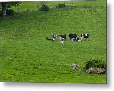 Holsteins Metal Print by Bill Wakeley