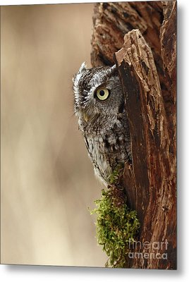 Home Sweet Home - Eastern Screech Owl In A Hollow Tree Metal Print by Inspired Nature Photography Fine Art Photography