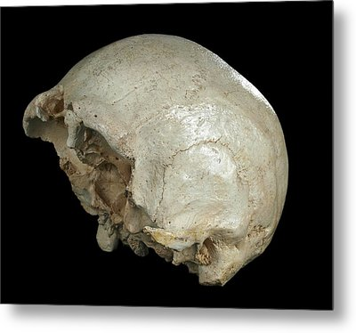 Hominin Skull From Sima De Los Huesos Metal Print by Javier Trueba/msf