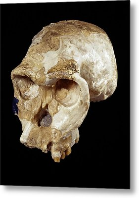 Homo Habilis Cranium (oh 24) Metal Print by Science Photo Library