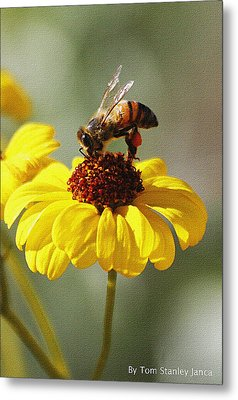 Honey Bee And Brittle Bush Flower Metal Print
