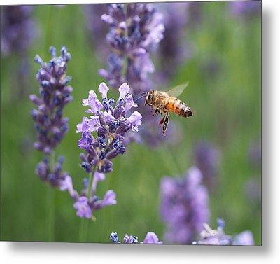 Honey Bee And Lavender Metal Print by Rona Black