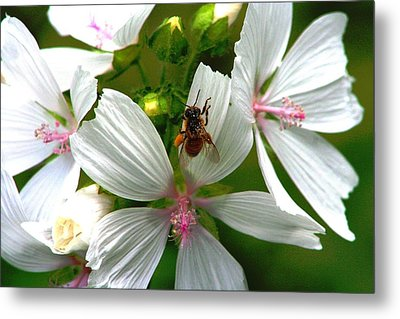 Honey Bee In The Mallow Metal Print