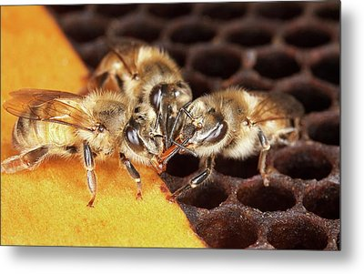Honey Bee Mouth-to-mouth Feeding Metal Print