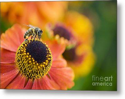 Honey Bee On Helenium Metal Print