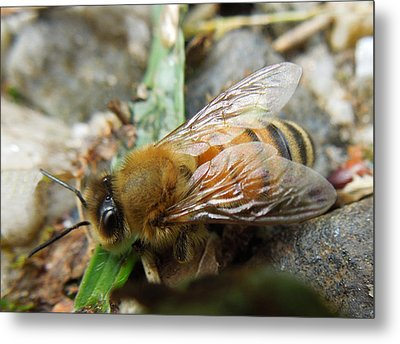 Metal Print featuring the photograph Honey Bee by Pete Trenholm