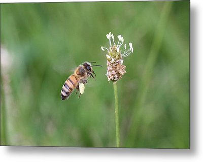Honeybee And English Plantain Metal Print
