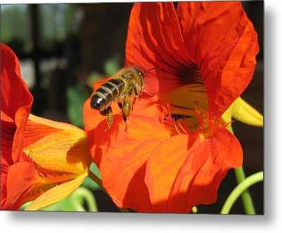 Honeybee Entering Nasturtium Metal Print