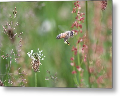 Honeybee Flying In A Meadow Metal Print