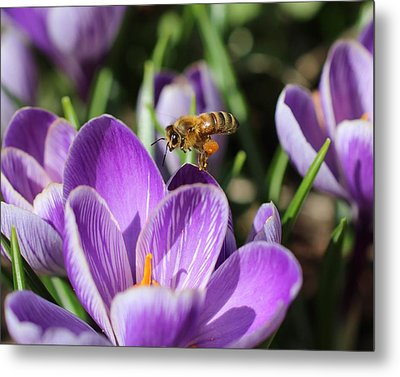 Honeybee Flying Over Crocus Metal Print