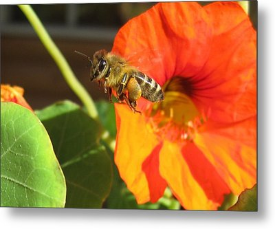 Honeybee Leaving Nasturtium With A Full Pollen Basket Metal Print