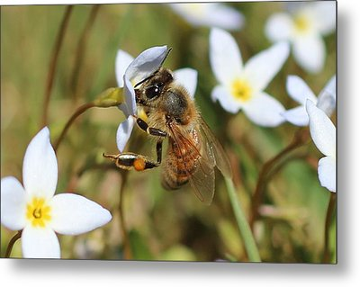Honeybee On Bluet Metal Print