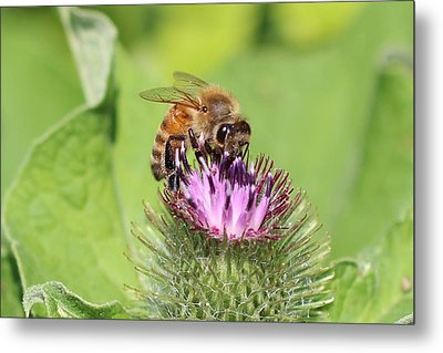 Honeybee On Burdock Metal Print