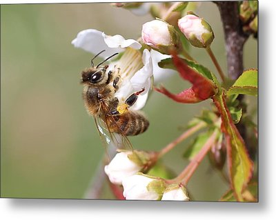 Honeybee On Cherry Blossom Metal Print