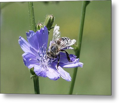 honeybee on Chickory Metal Print