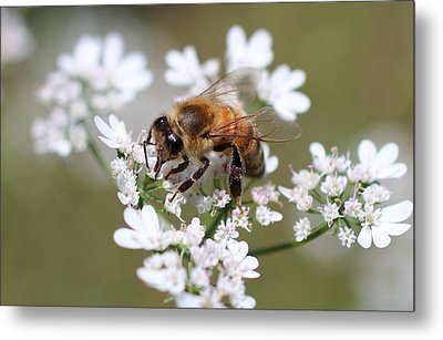 Honeybee On Cilantro Metal Print