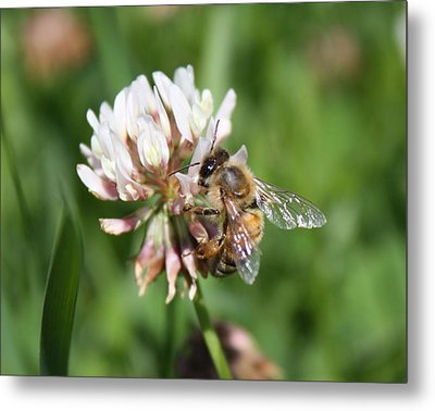 Honeybee On Clover Metal Print